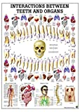 Correlation Between Teeth And Organs Anatomy Chart - Laminated
