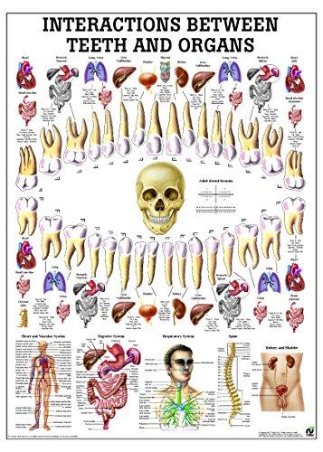 Correlation Between Teeth And Organs Anatomy Chart - Laminated - Organ Anatomy Chart