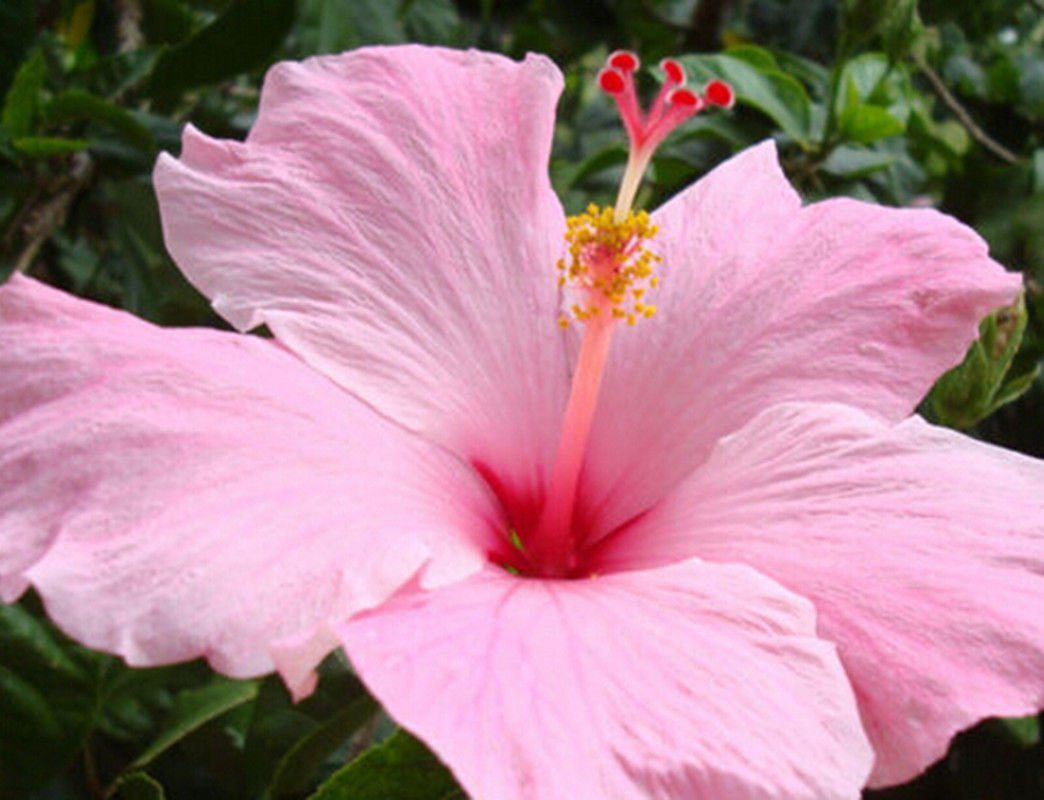 Amazon Gardening Giant Hibiscus Exotic Coral Flower 100 Seeds