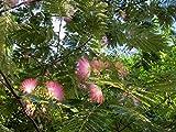 2 Starter Live Plants Silk Mimosa Tree Fragrant Pink Flowers Albizia Landscaping