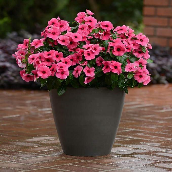 Amazon.com: Outsidepride Vinca Tatuaje Raspberry Flor Seed ...