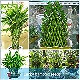 ZLKING 60 chinois Lucky bambou Graines porter chance et richesse hydroponique bonsaïs rares plantes à croissance rapide Jardin Balcon