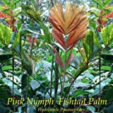 ~PINK NYPMH FISHTAIL PALM~ Hydriastele Pinanagoides Live small potted RARE Plant