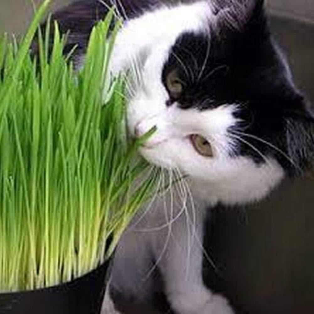 Non GMO Heirloom 100/% Pure Varieties Cat Grass Seeds Catkoo 100Pcs Cat Grass Seeds Home Garden Organic Perennial Herb Bonsai Balcony Plant