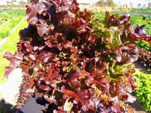 2000 Seeds of Red Salad Bowl Loose Leaf Lettuce Fresh Heirloom Beautiful