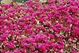 6 Starter Plants of Sedum Spurium Fuldaglut