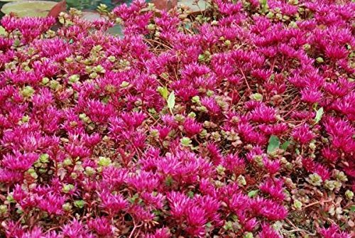 6 Starter Plants of Sedum Spurium Fuldaglut
