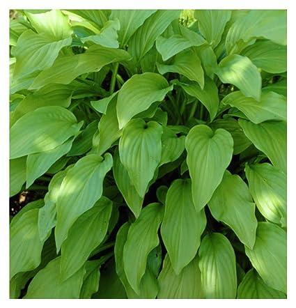 Hosta Honeybells Quart Pot Heavy Healthy Perennial Ea 1 By Growers Solution
