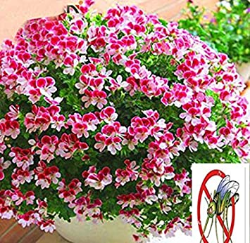 TOMASASeedhouse- Semillas de geranio, macetas de flores de colores Semillas de flores perennes de Hardy Balcón Primavera Flores ornamentales para balcón, Jardín