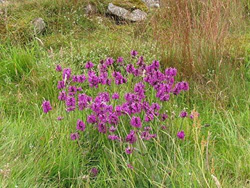 Wildflower Seeds 500 Seeds Betony