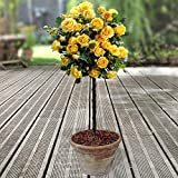 YouGarden Patio Standard Roses Bare Root, Yellow (Pair)