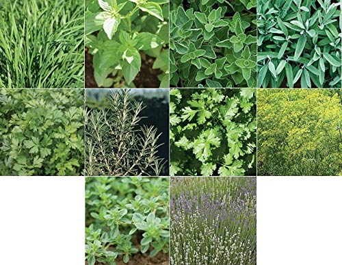 David's Garden Seeds Collection Set Herb Culinary SL9715 (Multi) 10 Varieties 3500 Seeds (Non-GMO, Open Pollinated)
