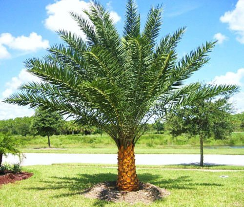 (Phoenix sylvestris, silver Date Palm exotic rare palms semi plant seed 50 seeds )