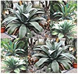 BULK x Agave salmiana Plant Seeds - GREEN GIANT AGAVE - Grows Up To 6 Feet Tall