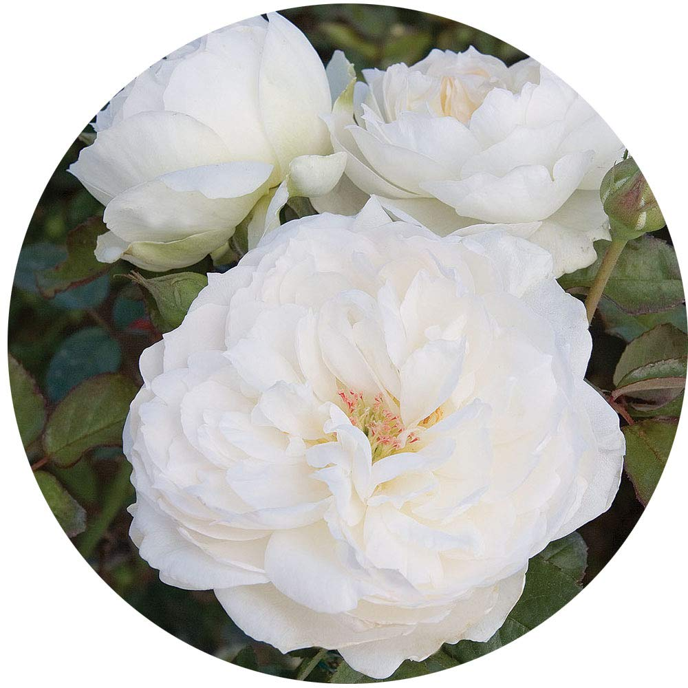 Bolero Rose Bush Reblooming White Floribunda Very Fragrant Rose Grown Organic 4'' Potted - 100+ Petal Flowers!