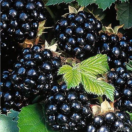 1 Pflanze im 2 Liter Container von Garten Schl/üter Rubus fruticosus Brombeere Black Satin