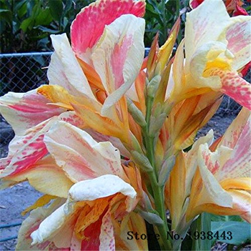 Brand New! Beautiful flower 10 Small canna lily seeds, Garden plant, flower seeds , pond seeds of hope (Canna Lily Flowers)