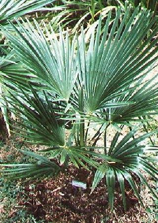 TROPICA - Pequeño palmera de cáñamo (Trachycarpus nanus) - 10 semillas- Palmeras