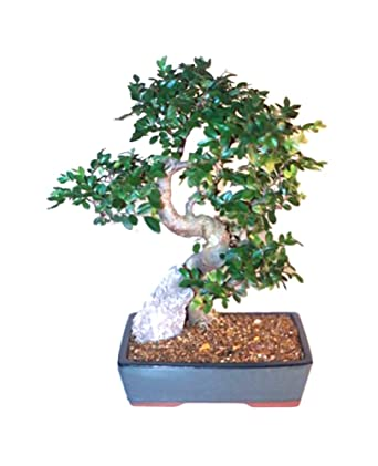 Amazon Com Bonsaiboy Chinese Elm Bonsai Tree Extra Large Curved Trunk Style Ulmus Parvifolia Bonsai Plants Grocery Gourmet Food