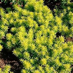 50+ Sedum Reflexum Flower Seeds / Perennial