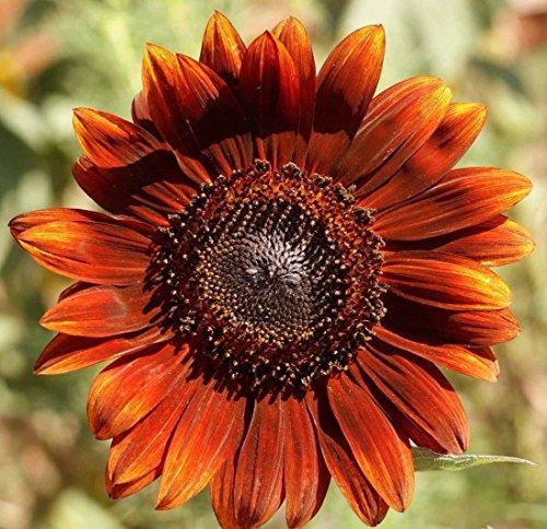 - Velvet Queen Sunflower Stunning Red Orange! 280 seed