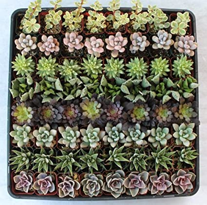 Amazon.com : 256 Beautiful Succulent Wedding Favors and Gifts plants ...