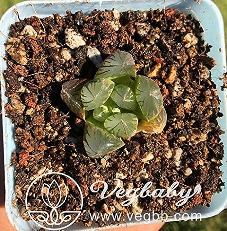 "Haworthia Black Obtusa Hybrid Succulent Plant in 3/""Pot"