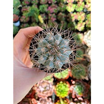 """AchmadAnam - Live Plant - 2.5"""" Melocactus Azureus Cactus. E12 : Garden & Outdoor"""