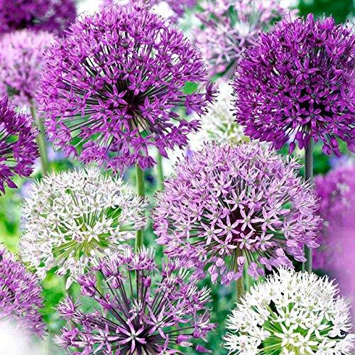 Allium Purple Blend 30 Bulbs--4-6 Inch Flower (Planting Allium Bulbs)