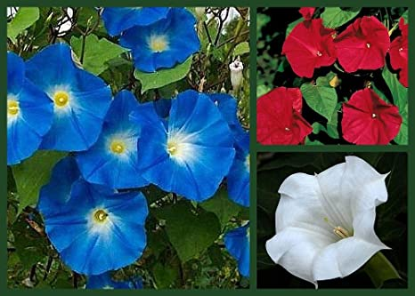 Amazon com : Morning Glory Seeds Red White & Blue 3 Pack