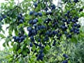 Blue Damson Plum Tree Semi-Dwarf - Healthy - Established - One Gallon Potted - 1 each by Growers Solution