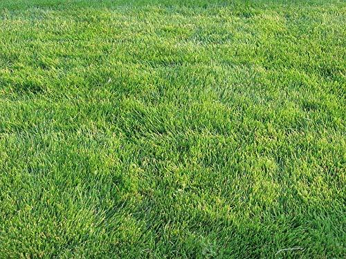 Emerald Seed - Zoysia Grass Seeds-Zoysia Emerald Grass-1/8 lb