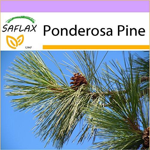 SAFLAX - Ponderosa Pine - 20 seeds - Frost Resistant - Pinus ponderosa