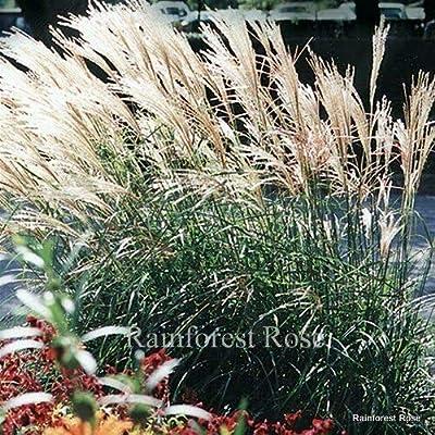 Miscanthus sinensis Adagio 72 Plants Ornamental Grasses Wholesale Zone 6-10 : Garden & Outdoor