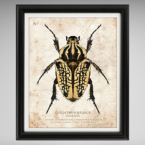 goliath-beetle-vintage-style-scientific-illustration-8x10