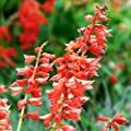 Scarlet Sage Seed Balls (Salvia coccinea) - Seed Bombs for Guerrilla Gardening