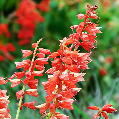 Salvia Scarlet Sage - Scarlet Sage Seed Balls (Salvia coccinea) - Seed Bombs for Guerrilla Gardening (20)