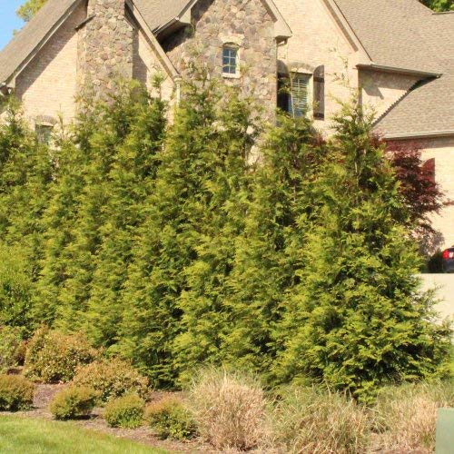 Thuja Green Giant Trees - Large, Tall Evergreen Trees for Instant Privacy! - Oversize Arborvitae Thuja Green Giants (10 Plants (1-2 feet Tall)) by Brighter Blooms (Image #2)