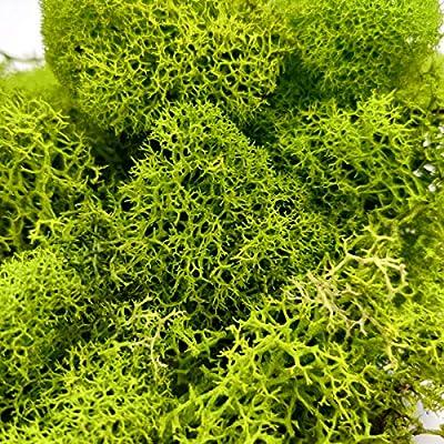 Green Preserved Reindeer Moss | DIY Terrarium Supplies | Art Wall Decor | Wedding Decor (2 oz Bag) : Garden & Outdoor