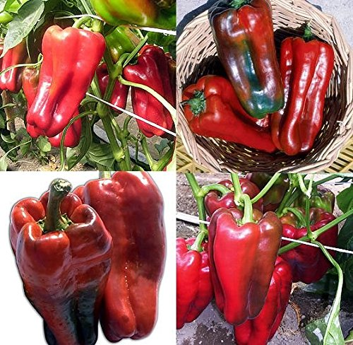 30+ ORGANICALLY GROWN Italian Nocera Rosso Giapponese Sweet Pepper Seeds, Heirloom NON-GMO, Rare and Beautiful, Prolific, Delicious! From USA (Long Italian Pepper Seeds compare prices)