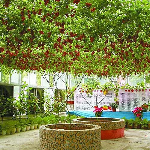 1 paquet de 100 graines/Paquet vivace tomate arbres géants serre en plein air disponibles Tomate Heirloom Seeds En Bonsai Livraison gratuite Plum