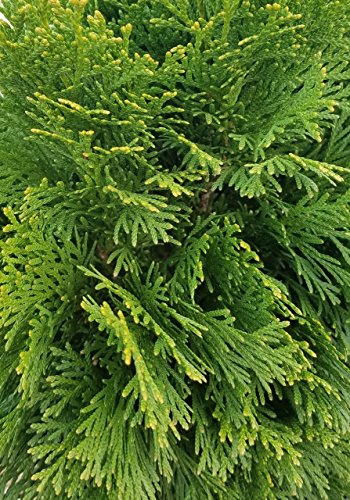 3 Gallon - Emerald Green Arborvitae(Thuja occidentalis) -...
