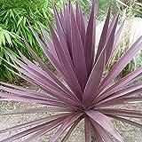 Cordyline - Australis Purpurea - 10 Seeds