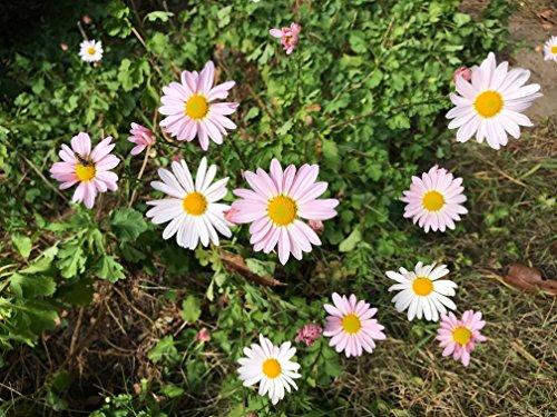 Beautiful Mum - 5 Rare Winter Hardy Garden Mum Plants, 4