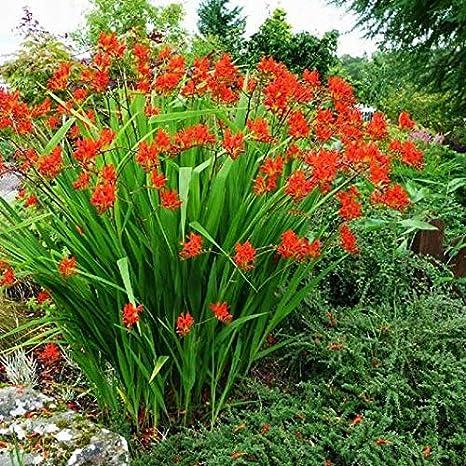 30 Bulbi di Crocosmia crocosmiflora LUCIFER Bulbi 30