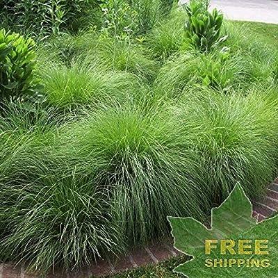 Prairie DROPSEED Sporobolus Heterolepis - 10 Seeds : Garden & Outdoor