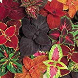 Burpee Giant Leaf Mix Coleus Seeds 20 seeds