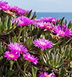 Carpobrotus Virescens, exotic ice plant living succulent mesembs seed 20 SEEDS