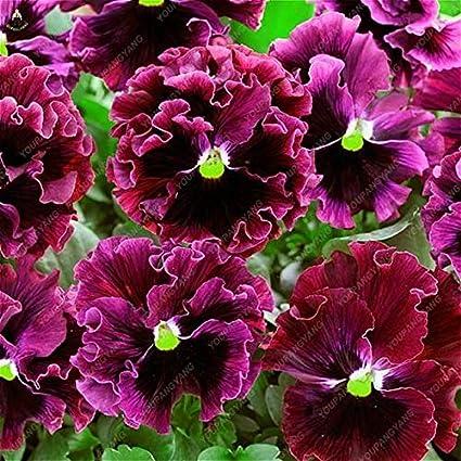 Amazon.com: 50 plantas raras de violeta con arco iris ...