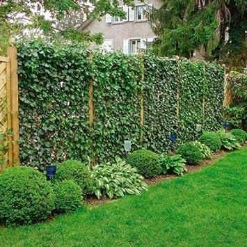 Immergrüne Kletterpflanze efeu 140 175 cm hedera hibernica für eine 100 sichtschutz hecke